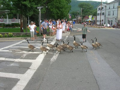 Geese on Parade.  Photo by Simon Gruber.