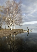 Hudson River Birches.  Photo by Mel Kleiman.