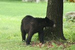 Bear in the backyard of a Cornwall residence last May. Photo by Connie Wagner.