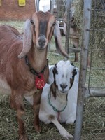 A couple of goats posed for a photo recently.